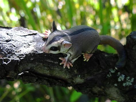 Sugar Glider Series show posts postsaurischian