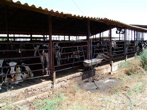 Cow Sheds by File A Cowshed In Kfar Yehoshua Israel Jpg Wikimedia