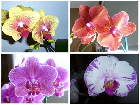 color orchid gousicteco orchid phalaenopsis colors images