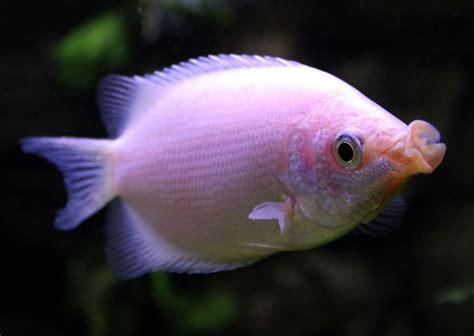 Chocolate Bathroom Popular Aquarium Fish Profiles