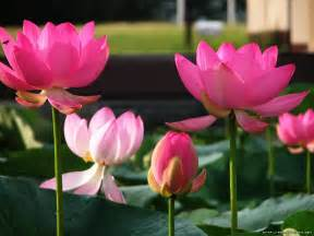 Photos Of Lotus Flowers Free Wallpapers Lotus Flower Wallpaper Wallpaper Lotus