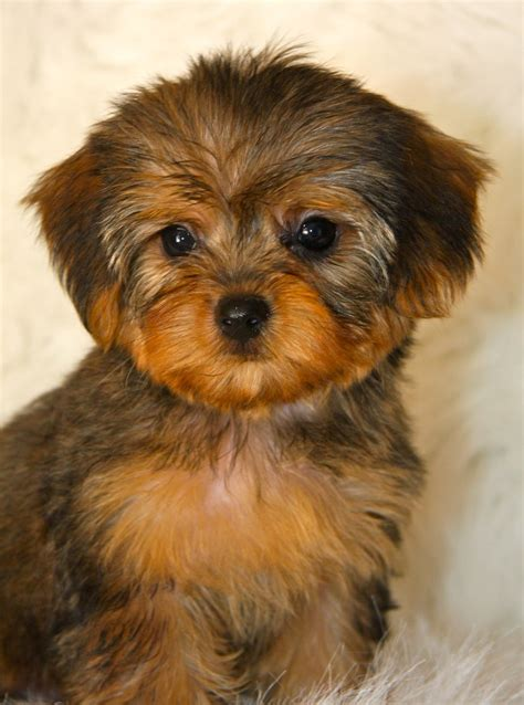 mini yorkie poo yorkie poo puppies rescue pictures information temperament characteristics
