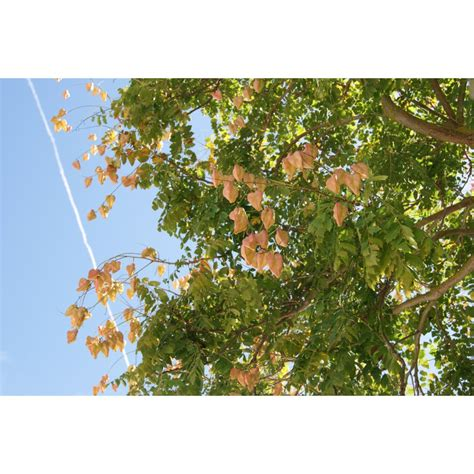 Panci Orchid 50cm panicled goldenrain tree koelreuteria paniculata