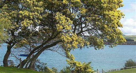 fiore di mimosa fiori mimosa fiori di piante
