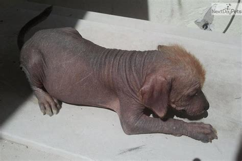 xoloitzcuintli puppies xoloitzcuintli for sale for 450 near el paso 4af77694 3e21