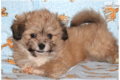 havanese puppies for adoption havanese puppy for adoption near dallas fort worth 116c1547 c302