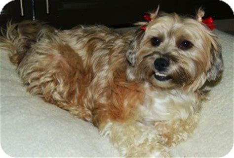 shih tzu rescue san diego sussy adopted lizbeth sussy san diego ca shih tzu pekingese mix