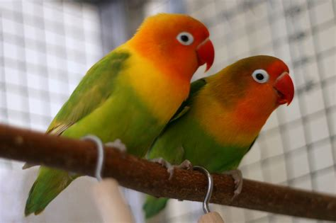 images of love birds 8 practical techniques for care and maintenance agaporni