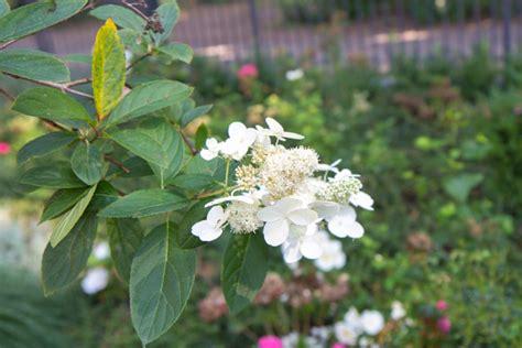pflege hortensien im garten rispenhortensie standort rispenhortensie 39 grandiflora