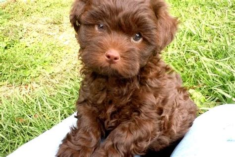yorkie and poodle mix puppies black teacup poodle mix photo happy heaven