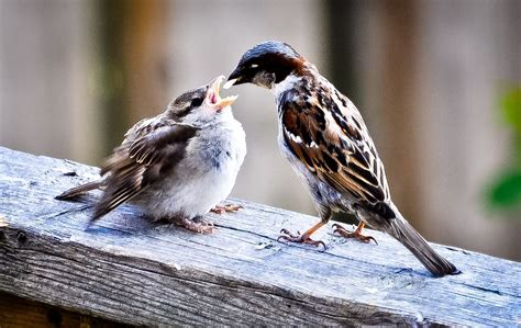 papa sparrow feeding baby sparrow lovely friends