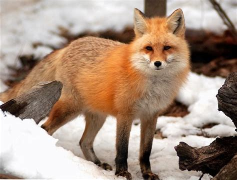 The Foxes red fox