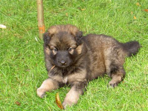 german shepherd puppies for sale in northern california pin by vandermolen on