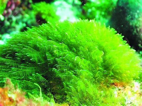 imagenes de algas verdes y azules virus en algas verdes afecta capacidades mentales humanas