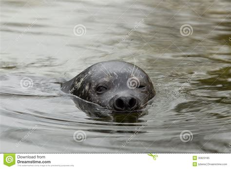 Seal Water Common Seal In Water Royalty Free Stock Photo Image