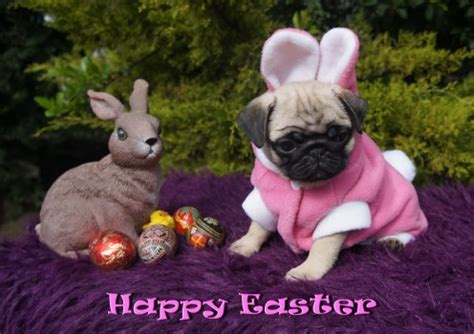 happy easter pug angelical pugs news