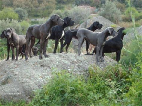 alimentazione alano cucciolo allevamento alani neri e baia delle sirene