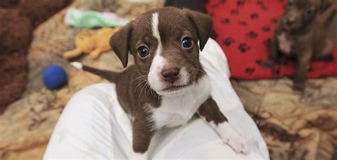 puppys for adoption near me puppy adoption best friends animal society
