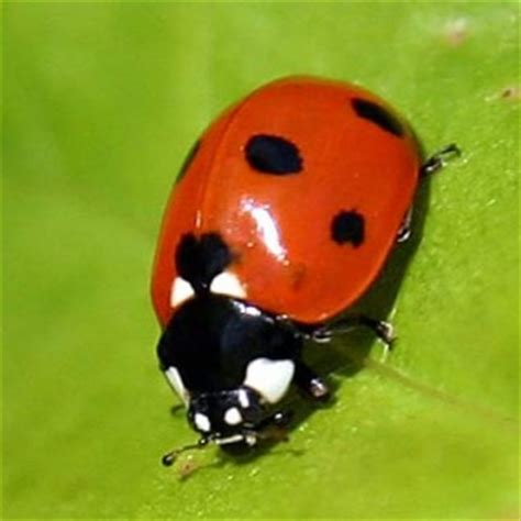 how to get rid of ladybugs inside house how to get rid of ladybugs mama knows
