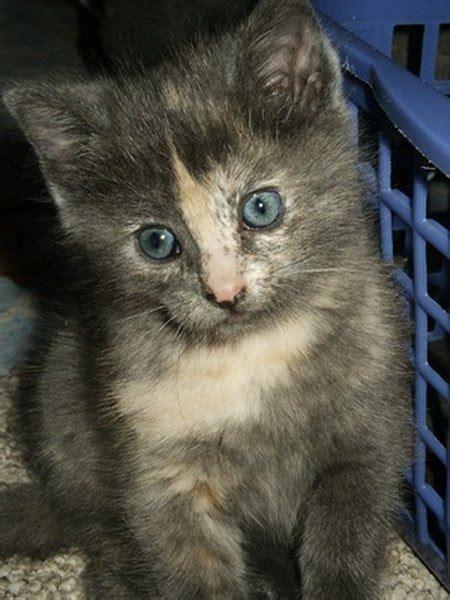 polydactyl kitten pets