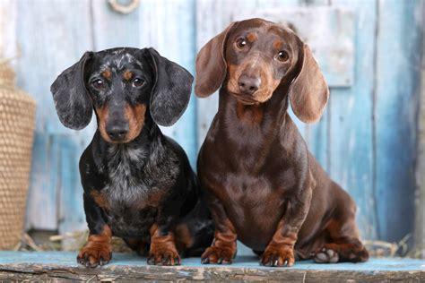 dachshund dog breed history   interesting facts
