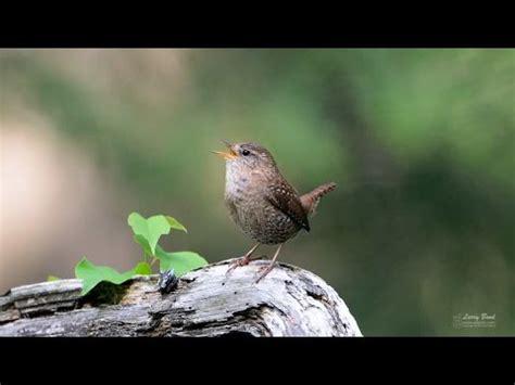 Suara Panggil Burung Walet Luar Lagu Walet Unik kicauan burung panjang winterkoning winter wren doovi