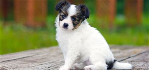 pictures of papillon puppies these papillon puppy pictures will help you through the day
