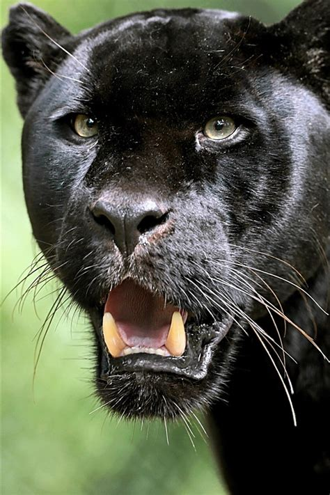 wallpaper black panther  face fangs  hd