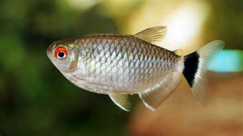 Hiasan Rasbora Harlequin Untuk Aquascape Aquarium Akuarium 2 jenis ikan untuk aquascape mini aquarium hias