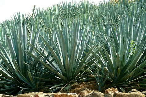 10 agave facts you didn t know the tierra group