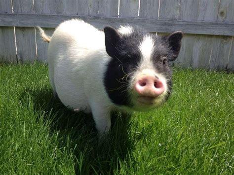 miniature pot belly miniature potbelly pigs pinterest