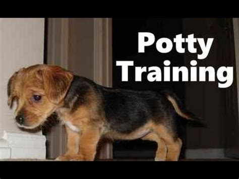 borkie puppies how to potty a borkie puppy borkie house tips housebreaking borkie