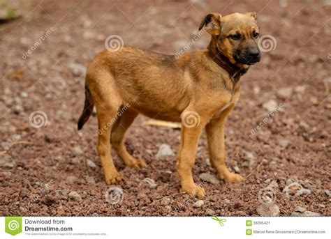 free puppies on island stray dogs of the island of la palma stock image image of distress palma 56395421