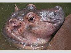 Cute Baby Hippopotamus Stock Photography - Image: 25312492 H Alphabet Wallpaper Stylish