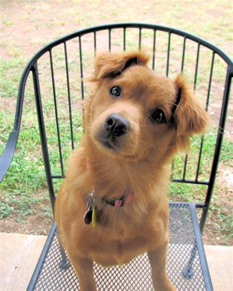 hypoallergenic pomeranian mix 17 best images about hypoallergenic mixes on chihuahuas swim and poodles