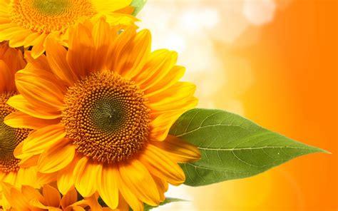 wallpaper hd bunga matahari bunga matahari daun hijau widescreen hd wallpaper desktop