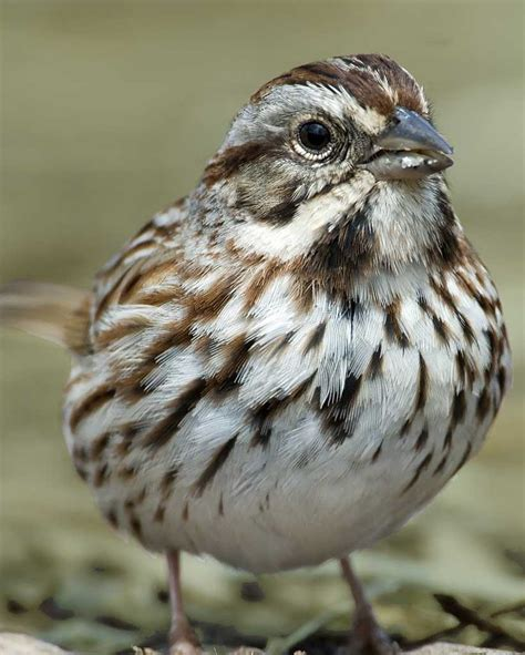 song sparrow audubon field guide