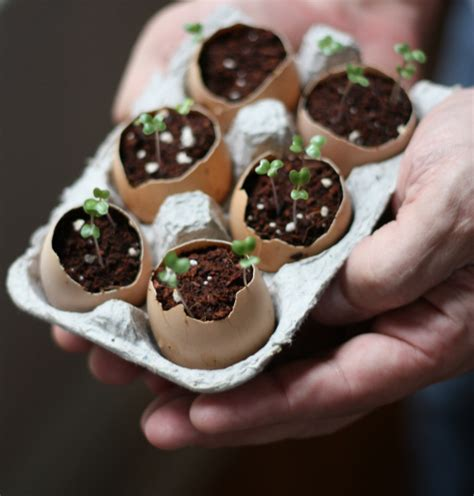 Eggshells In Garden by 17 Apart How To Plant Seeds Using Eggshells
