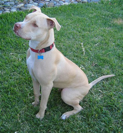 Fileamerican Pit Bull Terrier Seated Jpg Wikimedia