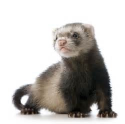 88 could engineered ferret flu unleash a human pandemic