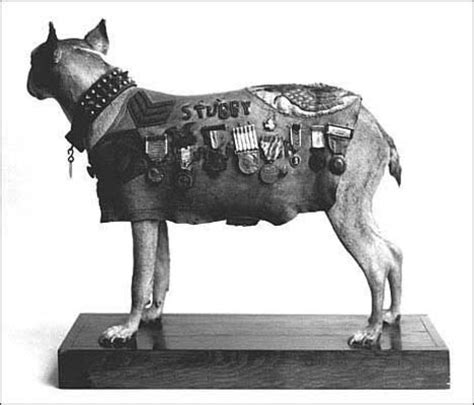Sergeant Stubby Obituary In Honor Of Memorial Day 7 Dogs Of War Ta Animal Hospitals