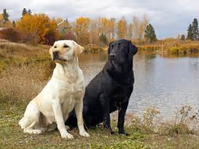 american color labs labrador retriever breed hd pictures 2013 top hd