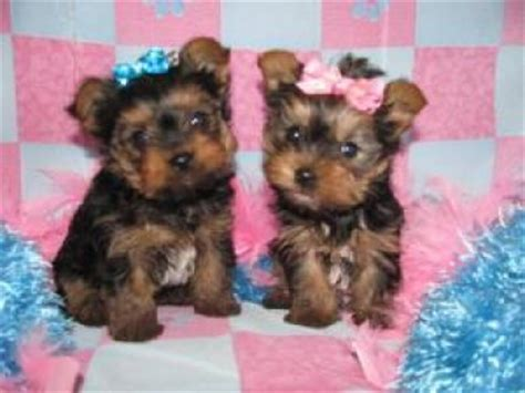 yorkie babies for free looking and baby teacup yorkie puppies for adoption kingston 29892059