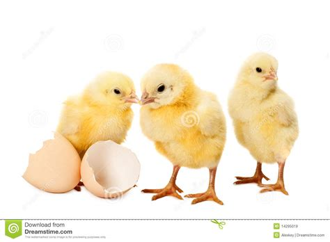 small chicken newborn small chicken on white royalty free stock images