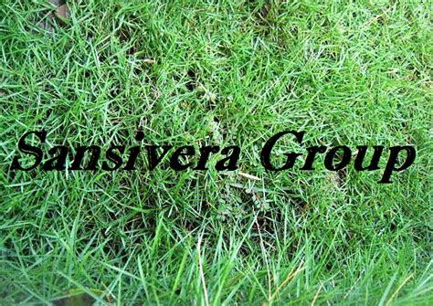 Biji Rumput Jepang jual rumput taman gajah mini golf swiss jepang
