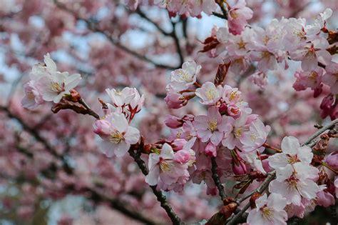 cherry tree b b blackpool cherry blossom reports 2016 sapporo bloom
