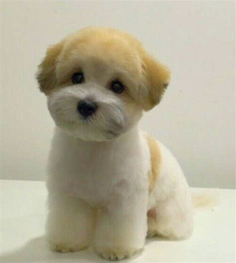 shih tzu bichon haircuts bichon shih tzu mix pet grooming shih tzu and shih tzu mix