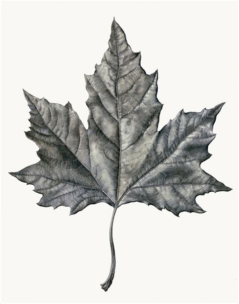 pencil drawing of leaves drawing pencil