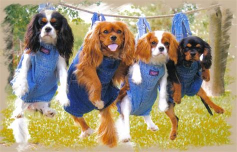 king charles cavalier puppies for sale near me cavalier king charles spaniel puppies breeders dallas fort worth