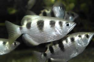 List of brackish aquarium fish species